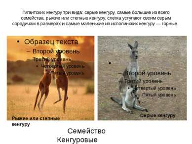Гигантских кенгуру три вида: серые кенгуру, самые большие из всего семейства,...