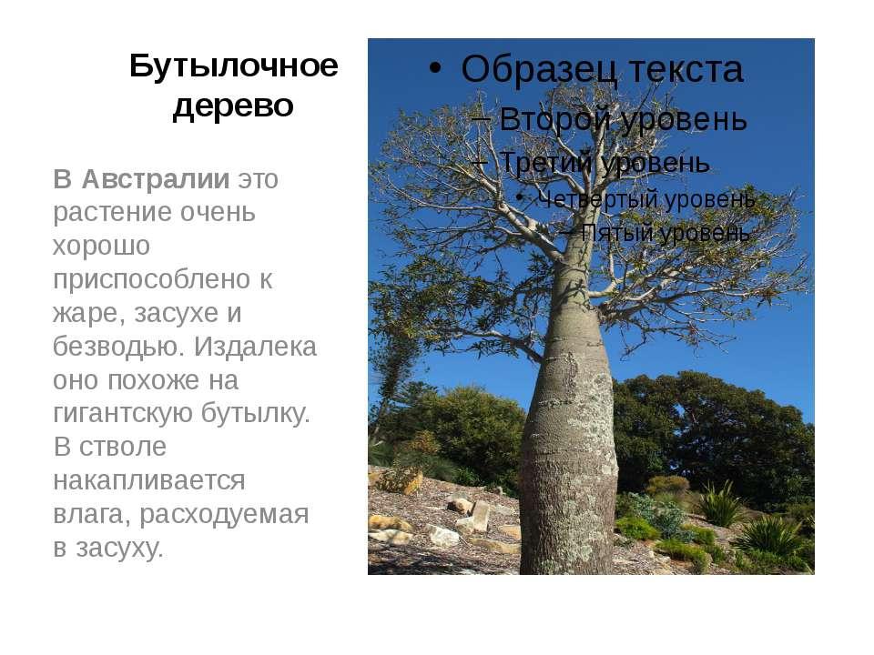 Бутылочное дерево В Австралии это растение очень хорошо приспособлено к жаре,...