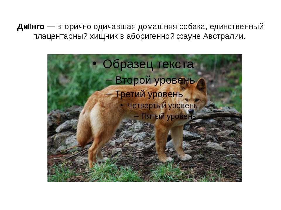 Ди нго — вторично одичавшая домашняя собака, единственный плацентарный хищник...