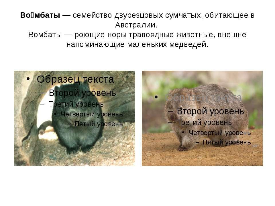 Во мбаты — семейство двурезцовых сумчатых, обитающее в Австралии. Вомбаты — р...