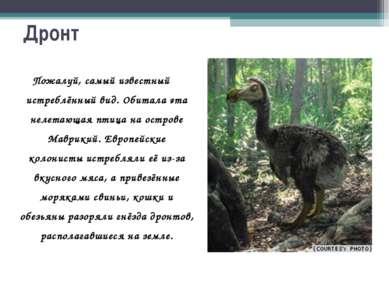 Дронт Пожалуй, самый известный истреблённый вид. Обитала эта нелетающая птица...