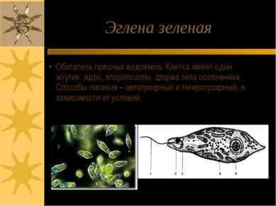 Эглена зеленая Обитатель пресных водоемов. Клетка имеет один жгутик, ядро, хл...