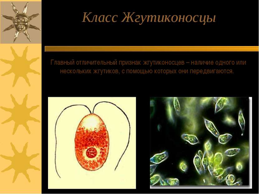 Класс Жгутиконосцы Главный отличительный признак жгутиконосцев – наличие одно...