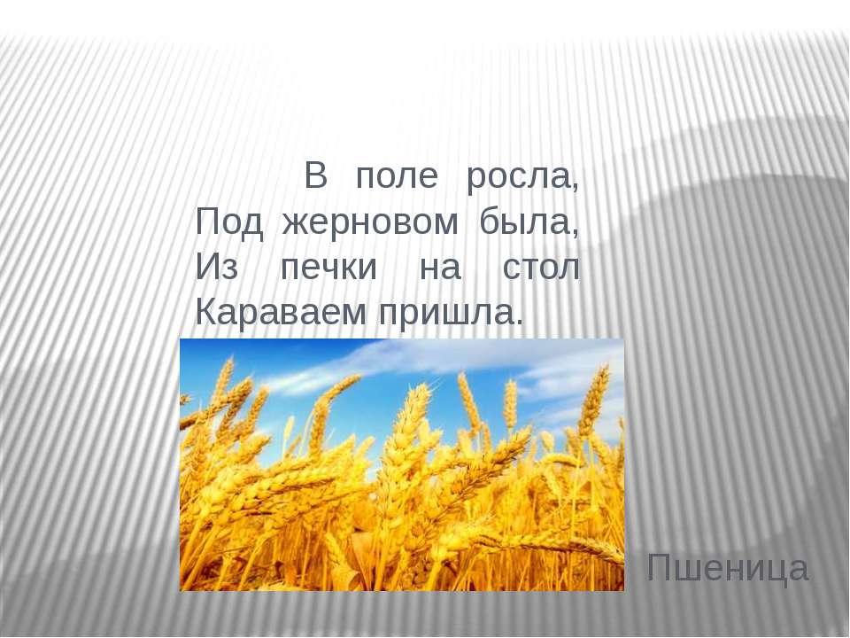 В поле росла, Под жерновом была, Из печки на стол Караваем пришла. Пшеница