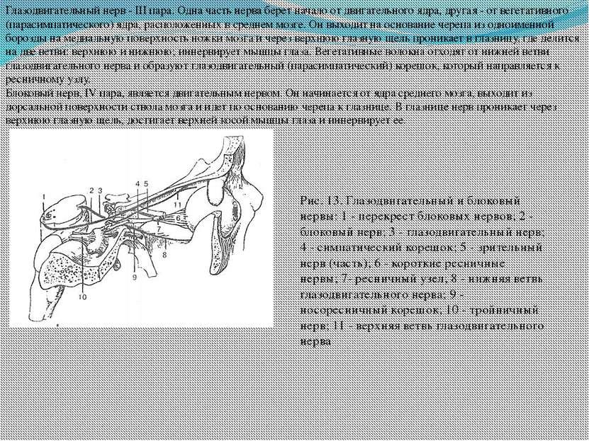 Глазодвигательный нерв - III пара. Одна часть нерва берет начало от двигатель...