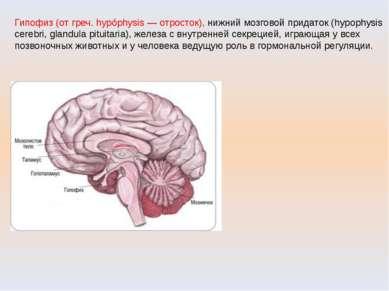 Гипофиз (от греч. hypóphysis — отросток), нижний мозговой придаток (hypophysi...