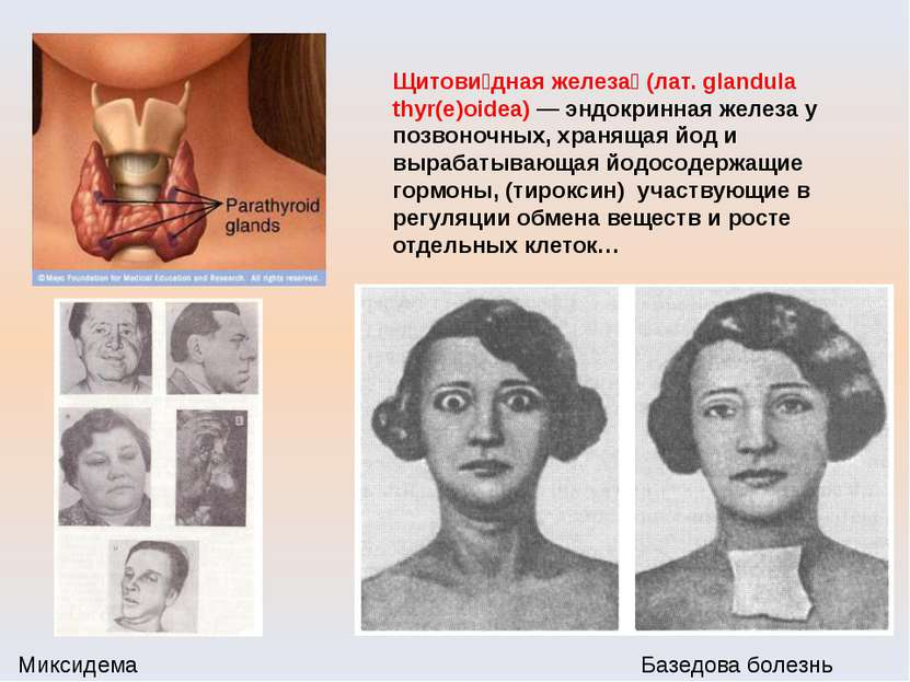 Щитови дная железа (лат. glandula thyr(e)oidea) — эндокринная железа у позвон...