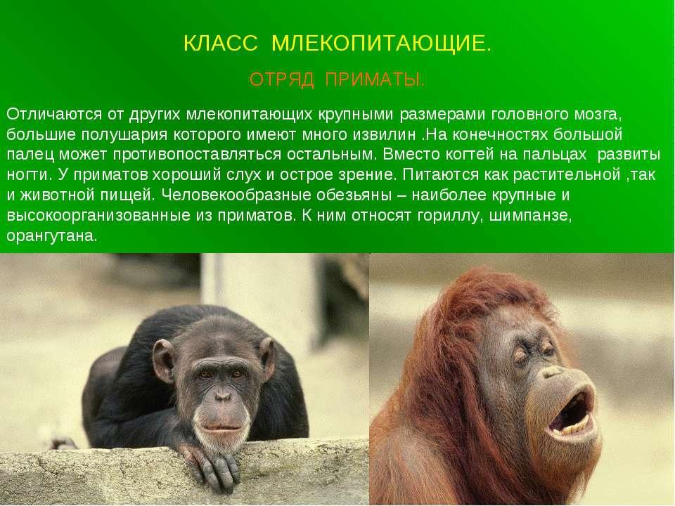 КЛАСС МЛЕКОПИТАЮЩИЕ. ОТРЯД ПРИМАТЫ. Отличаются от других млекопитающих крупны...