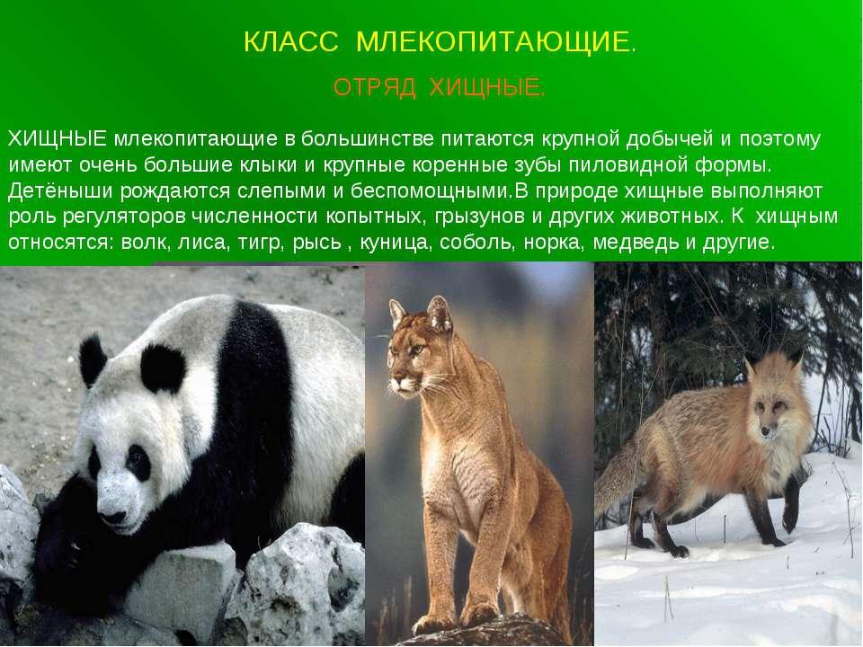 КЛАСС МЛЕКОПИТАЮЩИЕ. ОТРЯД ХИЩНЫЕ. ХИЩНЫЕ млекопитающие в большинстве питаютс...