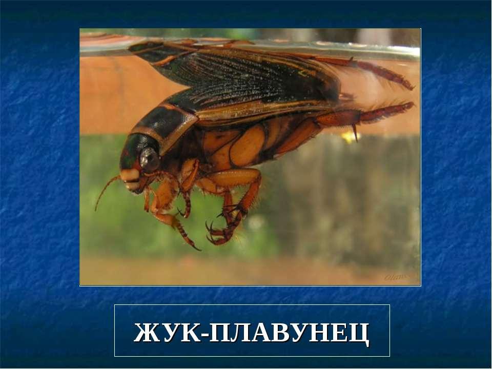 ЖУК-ПЛАВУНЕЦ