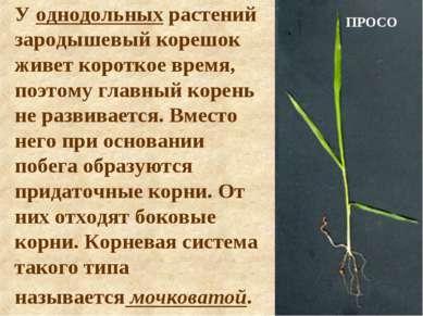 У однодольных растений зародышевый корешок живет короткое время, поэтому глав...