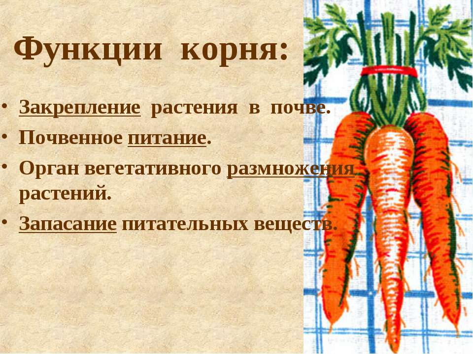 Функции корня: Закрепление растения в почве. Почвенное питание. Орган вегетат...