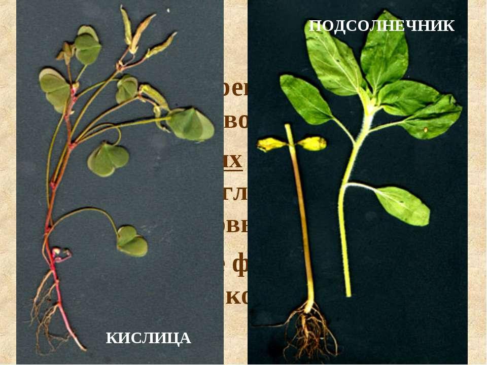 Главный корень развивается из зародышевого корешка. У двудольных и голосеменн...
