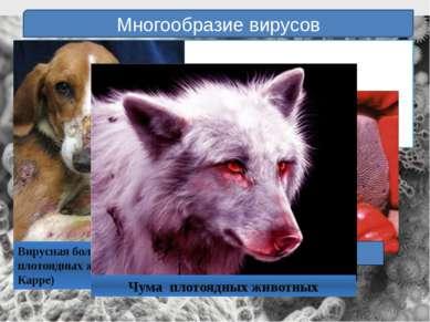 Многообразие вирусов Болезни животных: Ящур Инфекционная анемия лошадей Чума ...