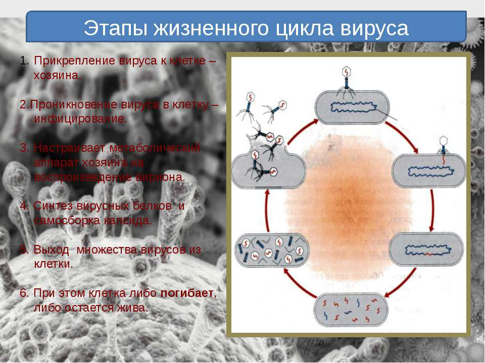 Этапы жизненного цикла вируса Прикрепление вируса к клетке –хозяина. 2.Проник...