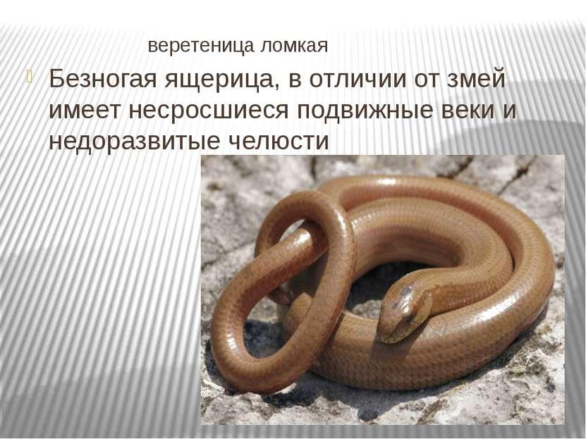 веретеница ломкая Безногая ящерица, в отличии от змей имеет несросшиеся подви...