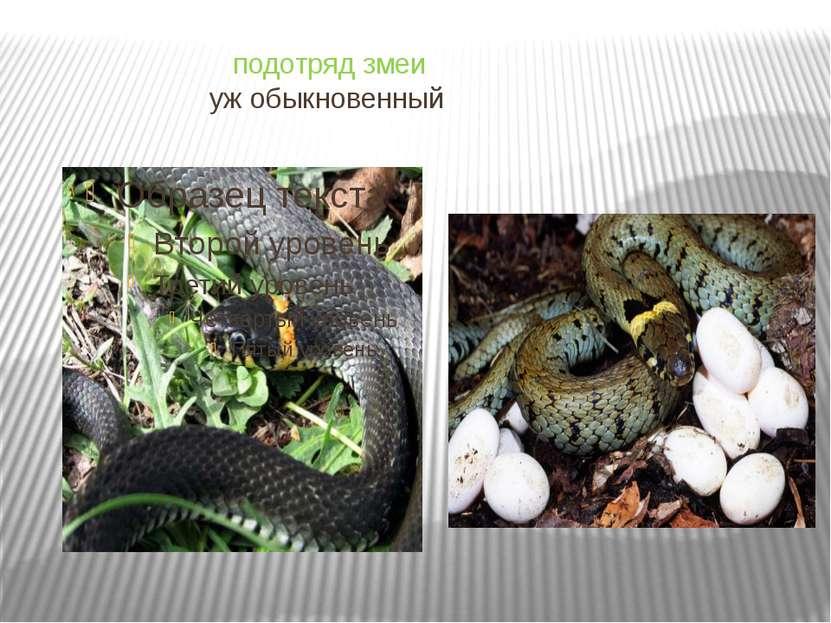 подотряд змеи уж обыкновенный