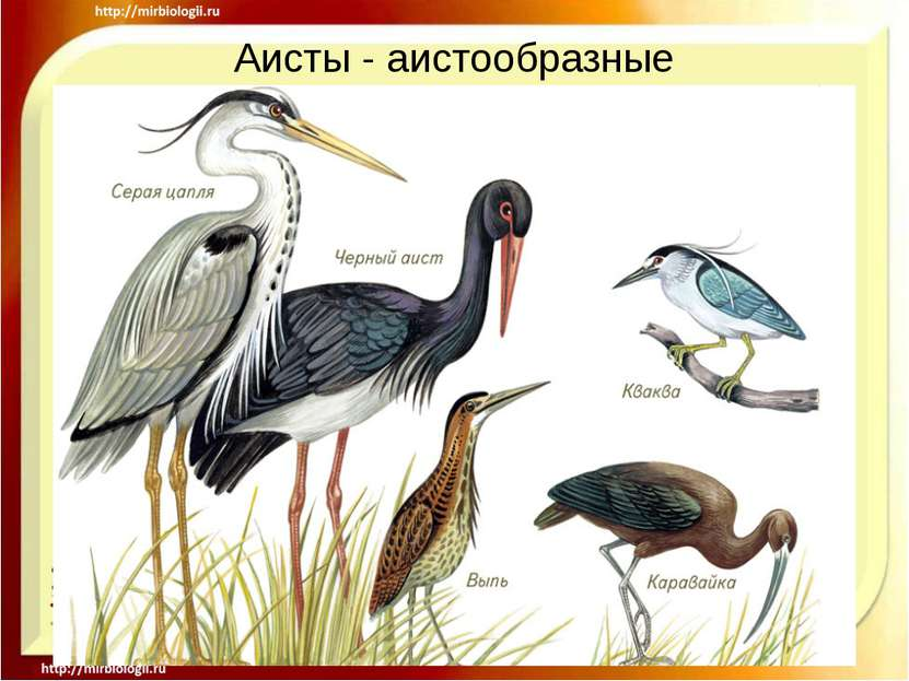 Аисты - аистообразные