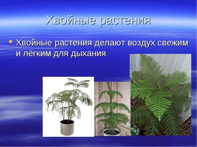 Хвойные растения Хвойные растения делают воздух свежим и лёгким для дыхания