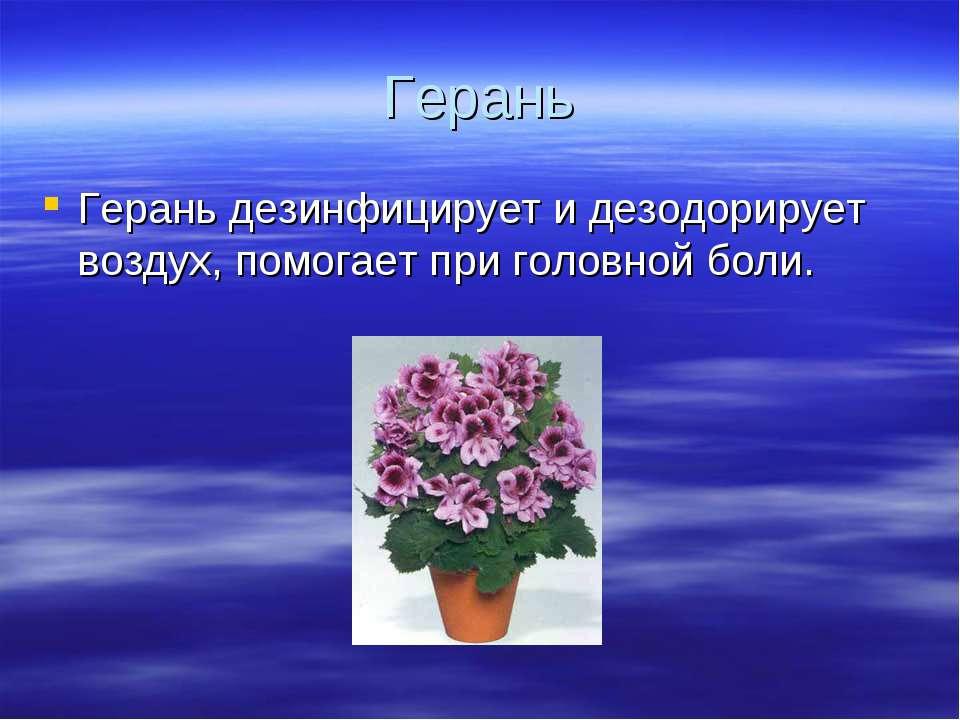 Герань Герань дезинфицирует и дезодорирует воздух, помогает при головной боли.