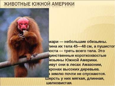 Уакари — небольшие обезьяны. Длина их тела 45—48 см, а пушистого хвоста — тре...