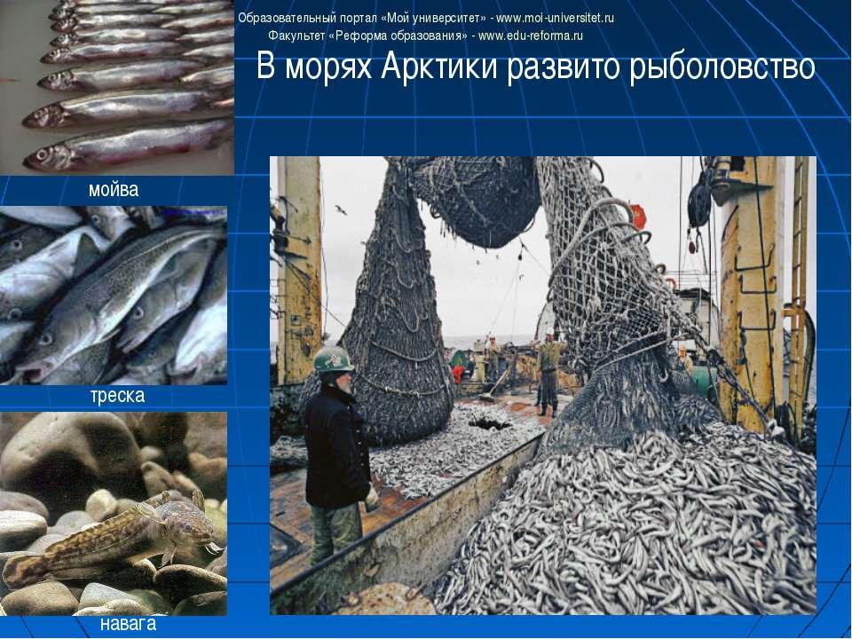 В морях Арктики развито рыболовство мойва треска навага Образовательный порта...