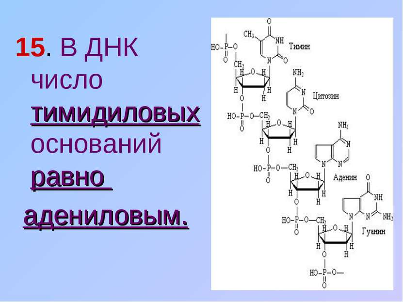 15. В ДНК число тимидиловых оснований равно адениловым.