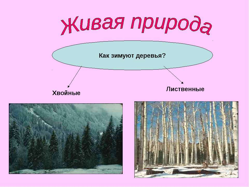 Как зимуют деревья? Лиственные Хвойные