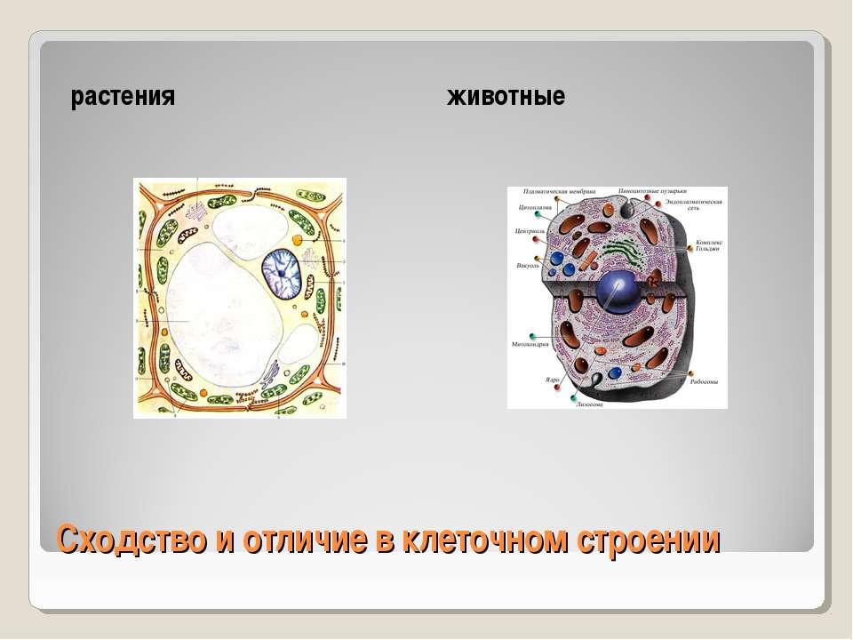 Сходство и отличие в клеточном строении растения животные