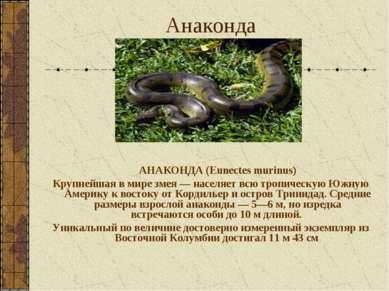 Анаконда АНАКОНДА (Eunectes murinus) Крупнейшая в мире змея — населяет всю тр...