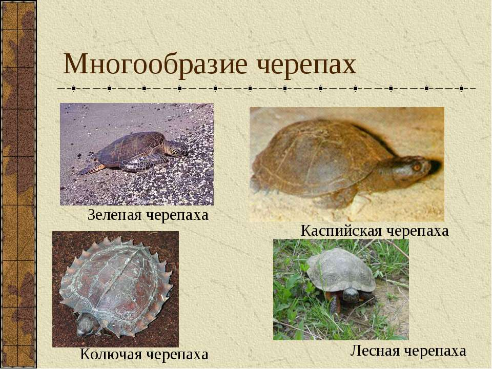 Многообразие черепах Зеленая черепаха Каспийская черепаха Колючая черепаха Ле...