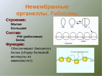 Строение: Малая Большая Состав: РНК (рибосомная) Белки. Функции: Обеспечивает...