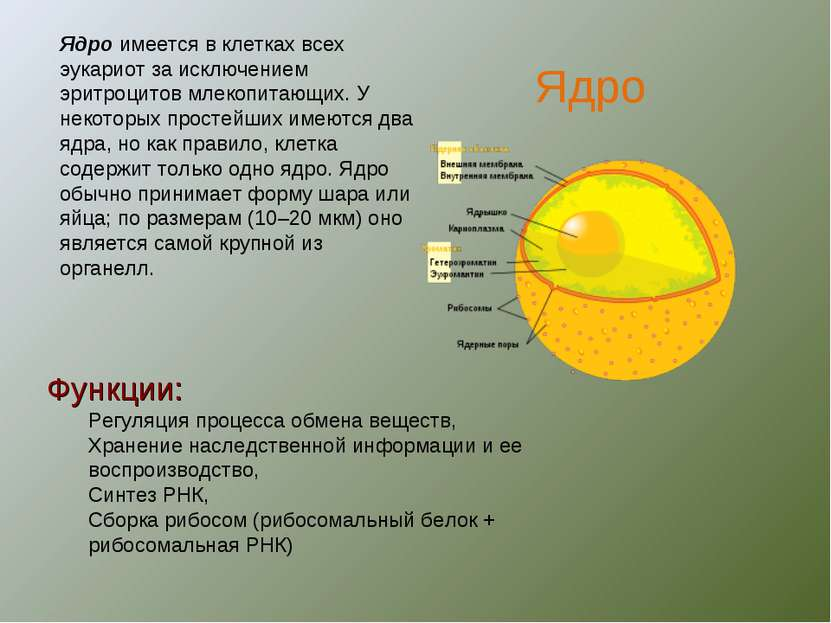 Ядро имеется в клетках всех эукариот за исключением эритроцитов млекопитающих...
