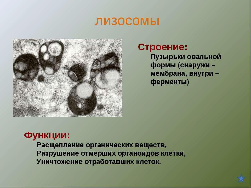 Строение: Пузырьки овальной формы (снаружи – мембрана, внутри – ферменты) Фун...