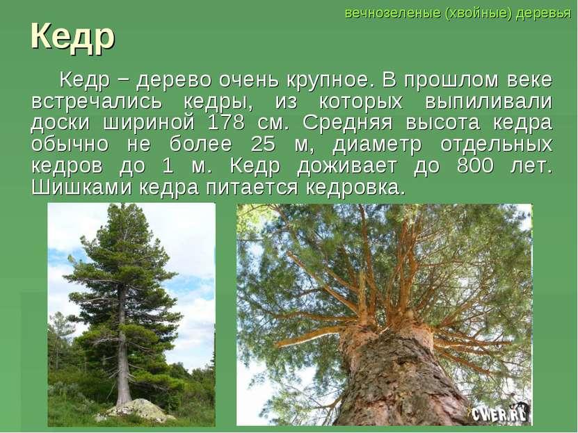 Кедр Кедр − дерево очень крупное. В прошлом веке встречались кедры, из которы...