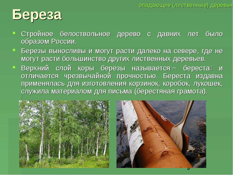 Береза Стройное белоствольное дерево с давних лет было образом России. Березы...