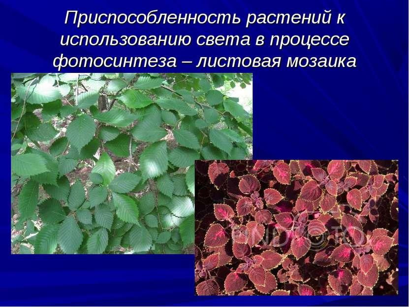 Приспособленность растений к использованию света в процессе фотосинтеза – лис...