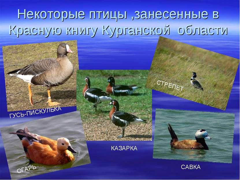 Некоторые птицы ,занесенные в Красную книгу Курганской области ГУСЬ-ПИСКУЛЬКА...