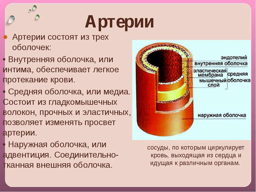Артерии Артерии coстоят из трех оболочек: • Внутренняя оболочка, или интима, ...