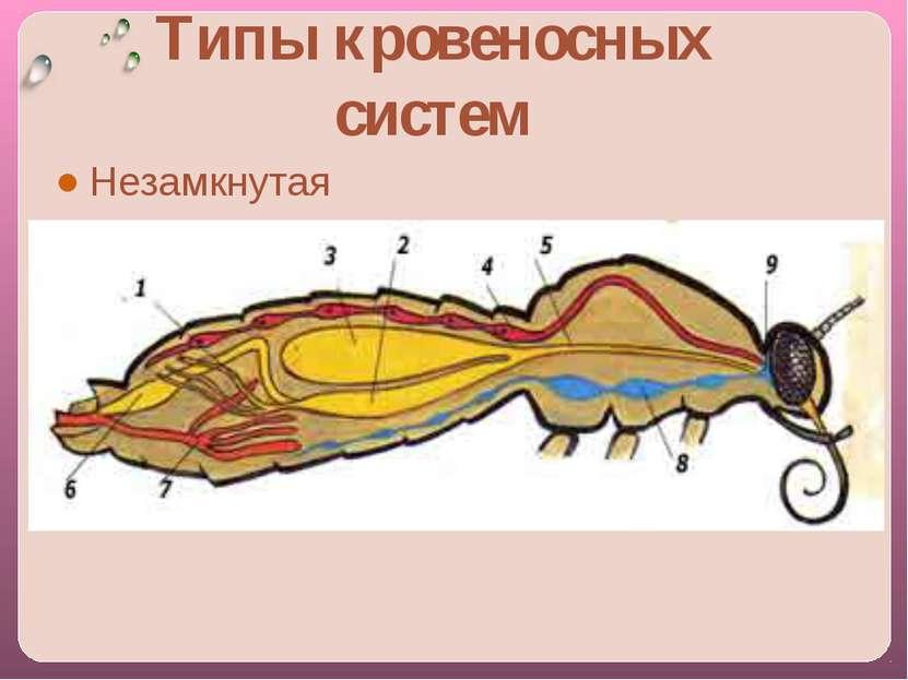 Типы кровеносных систем Незамкнутая