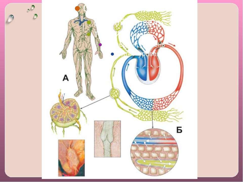 Состав лимфатической системы 1. Капилляры – они образуют сети во всех тканях ...