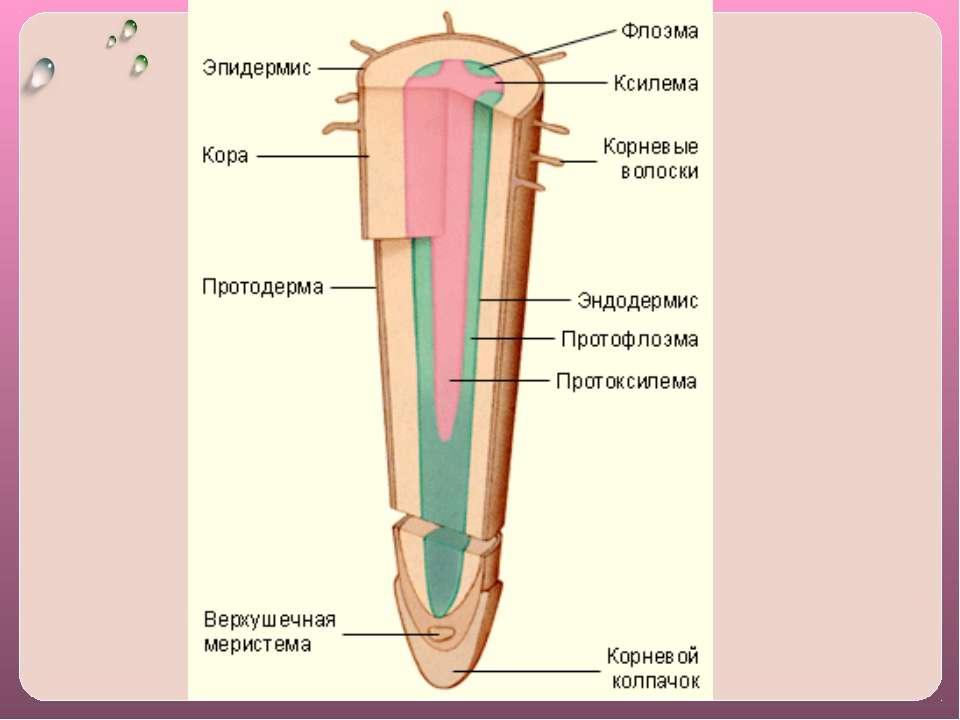 В клеточных стенках имеются полоски, пояски Каспари. Они состоят из водонепро...