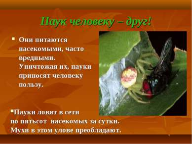 Паук человеку – друг! Они питаются насекомыми, часто вредными. Уничтожая их, ...