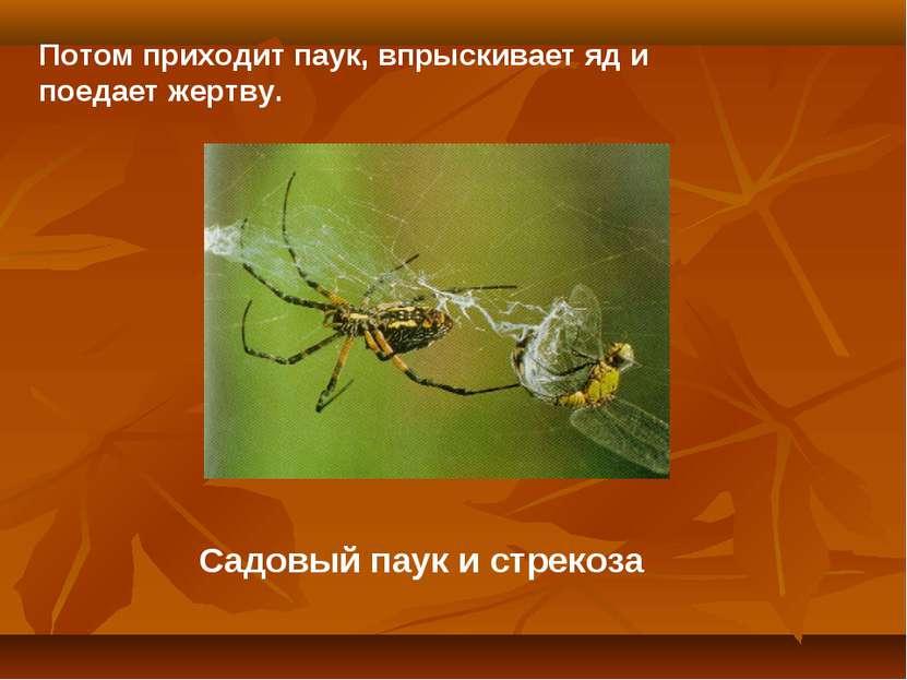Садовый паук и стрекоза Потом приходит паук, впрыскивает яд и поедает жертву.