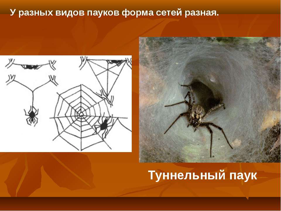 Туннельный паук У разных видов пауков форма сетей разная.