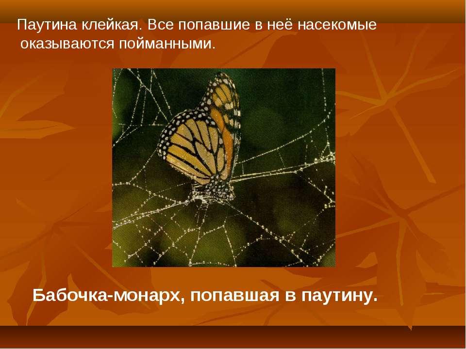 Бабочка-монарх, попавшая в паутину. Паутина клейкая. Все попавшие в неё насек...