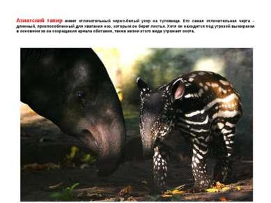 Азиатский тапир имеет отличительный черно-белый узор на туловище. Его самая о...