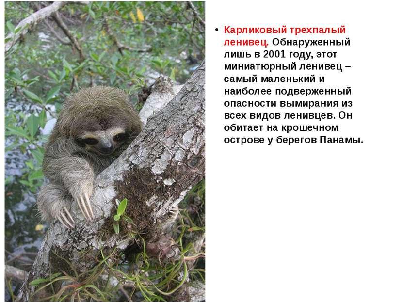 Карликовый трехпалый ленивец. Обнаруженный лишь в 2001 году, этот миниатюрный...