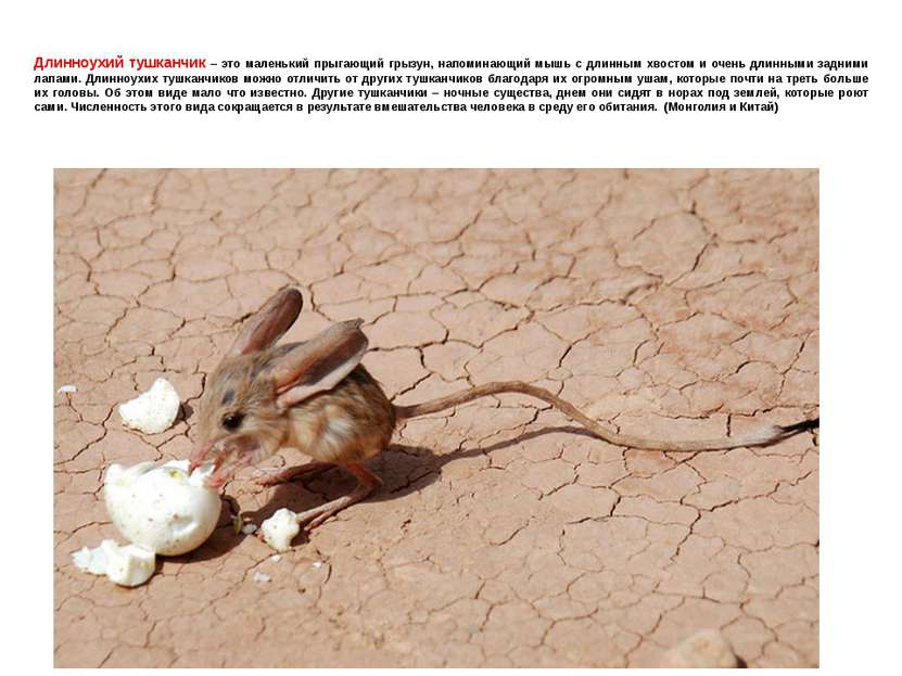 Длинноухий тушканчик – это маленький прыгающий грызун, напоминающий мышь с дл...