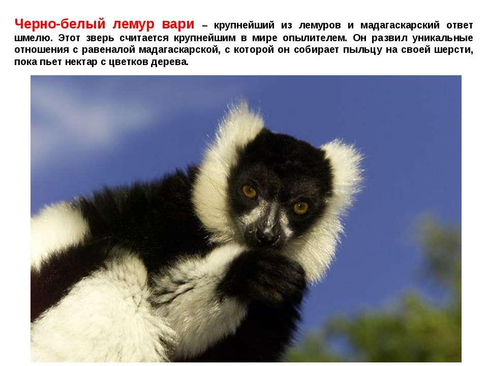 Черно-белый лемур вари – крупнейший из лемуров и мадагаскарский ответ шмелю. ...